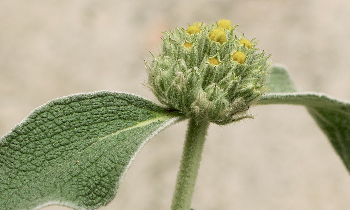 Phlomis fruticosa 27