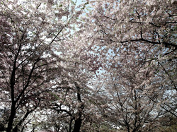 Prunus Yoshino Cherry 26
