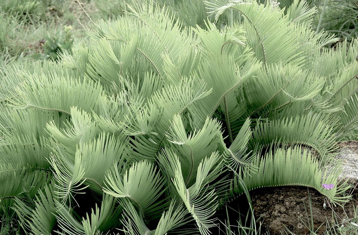 Encephalartos humilis 18