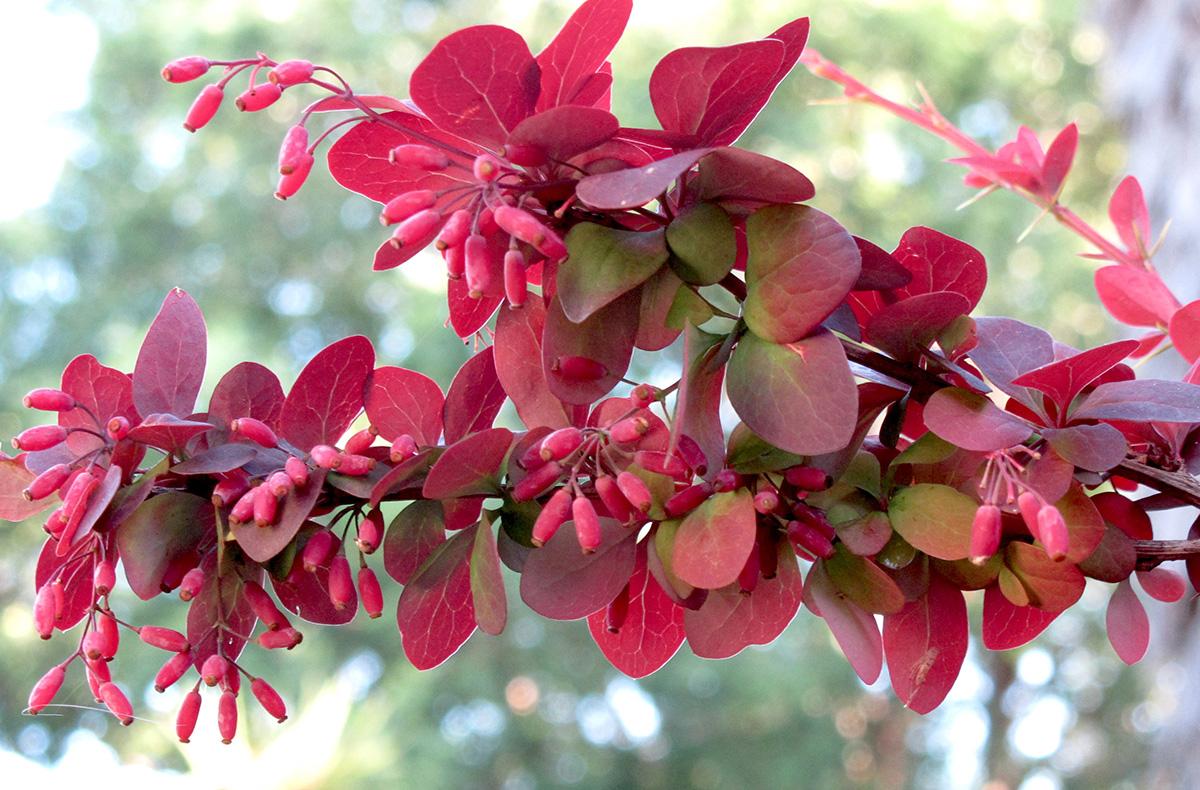 Berberis thunbergii artopurpurea 28
