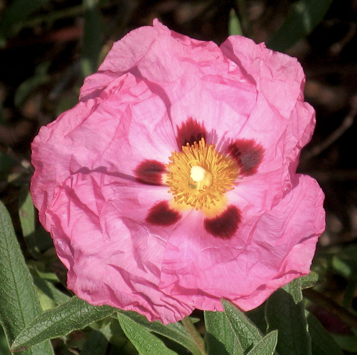 Cistus X purpureus 6