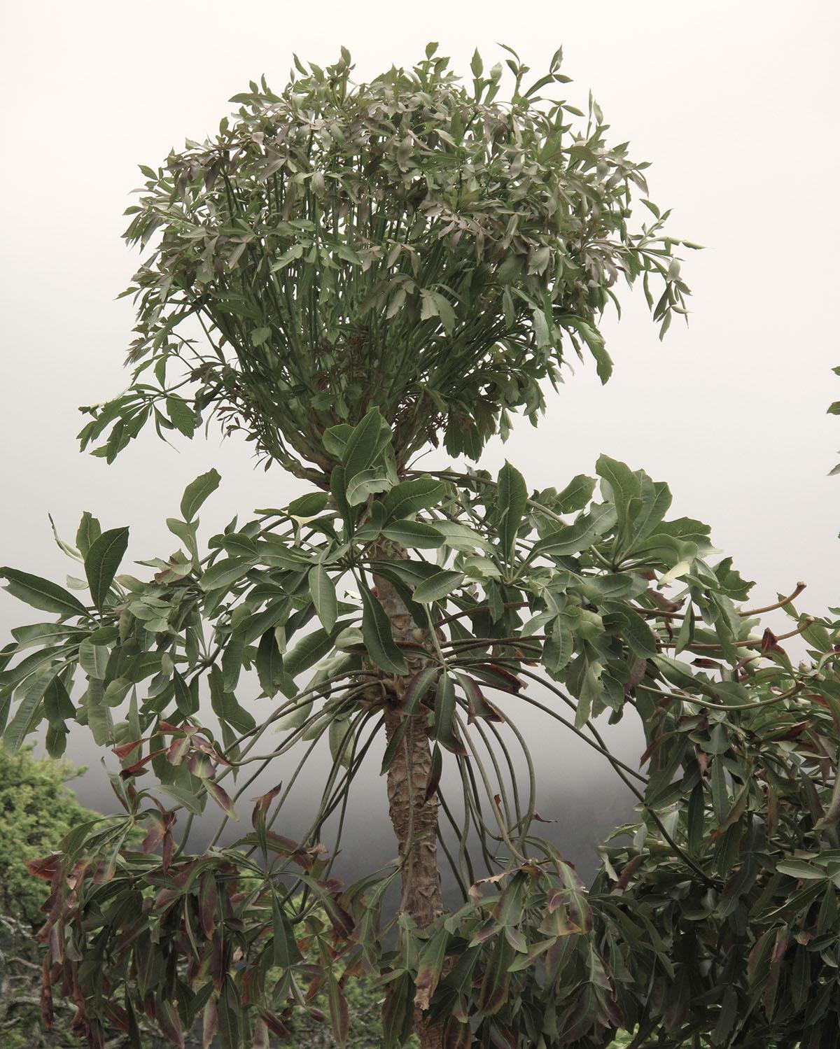Cussonia spicata 36