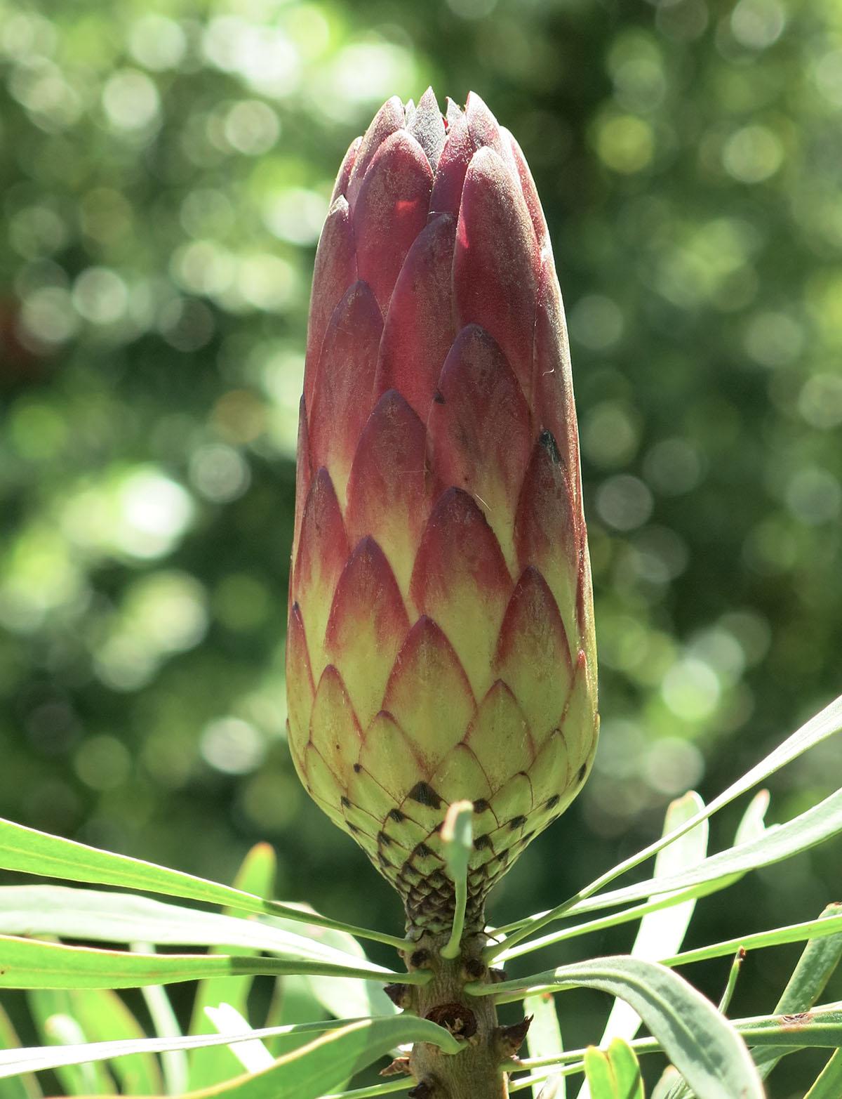 Protea repens 27