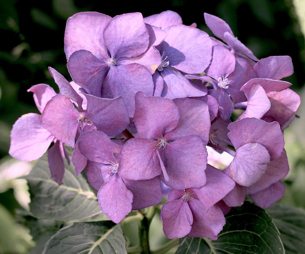Hydrangea macrophylla Enziandom 2