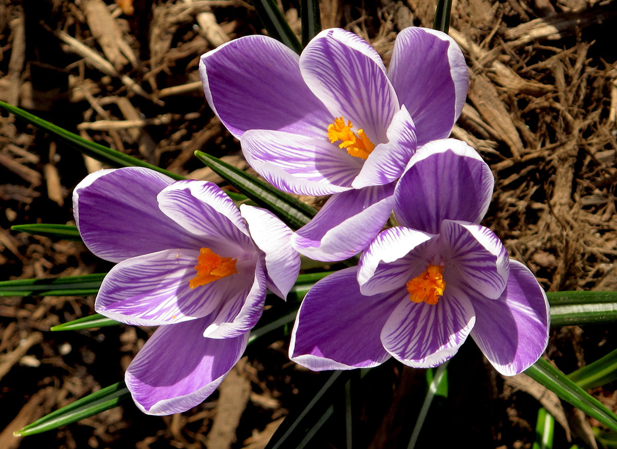 Crocus King of Stripe 1