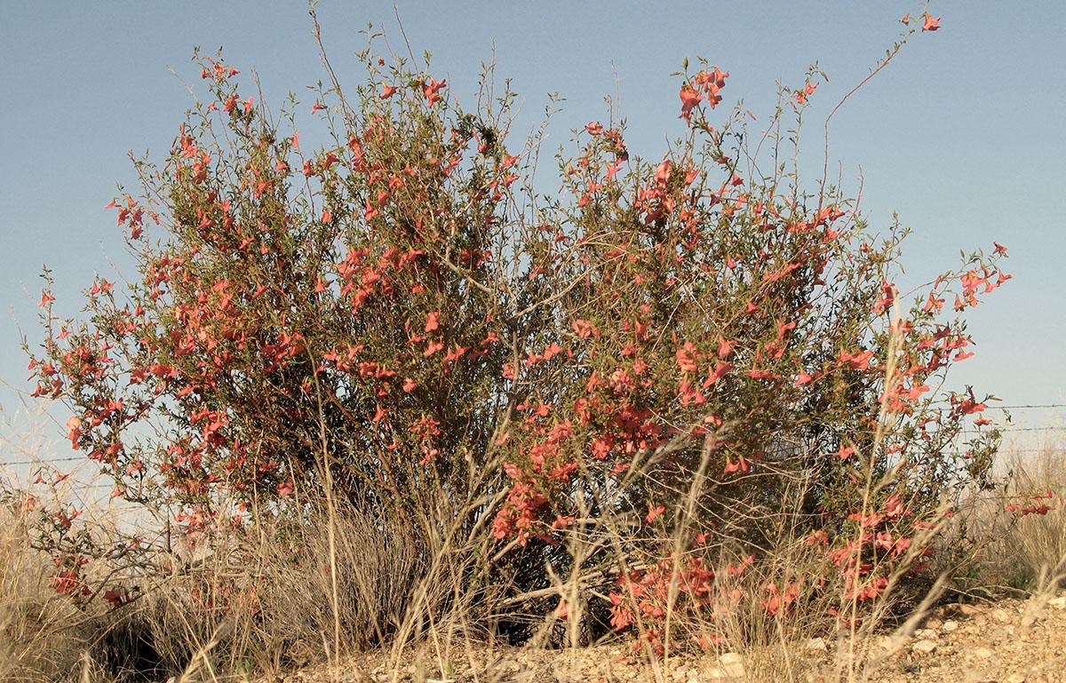 Hermannia stricta 19