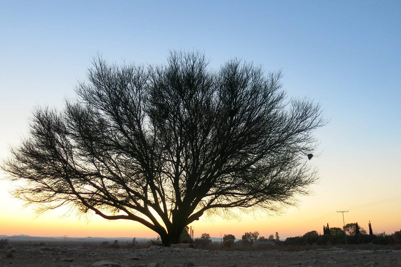 Acacia-karroo-182-
