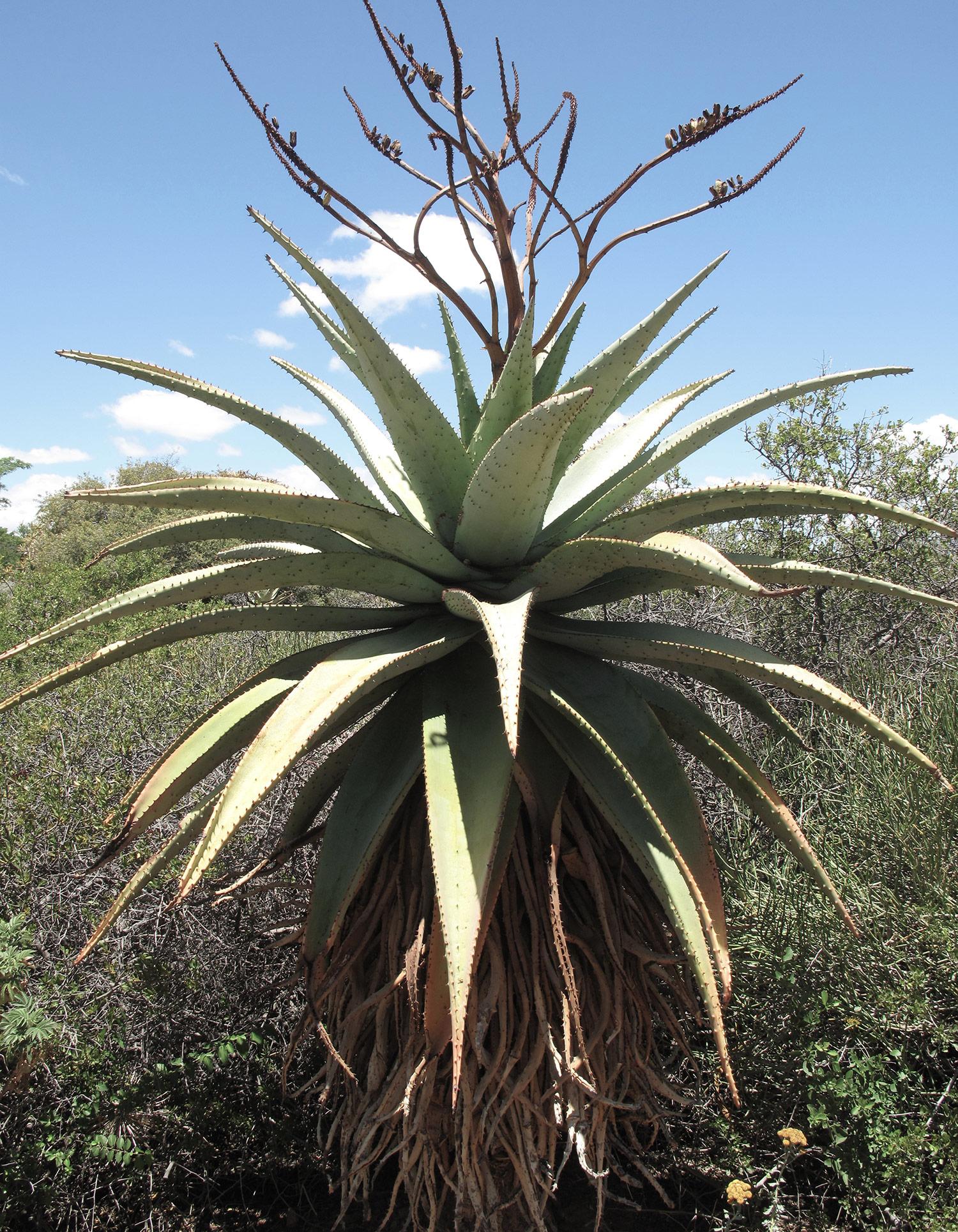 Aloe-marlothii-8-