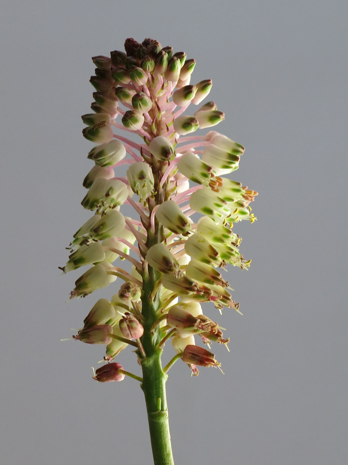 Lachenalia montana 3