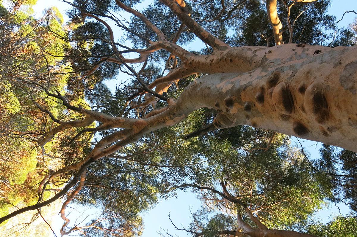 Eucalyptus salubris 23
