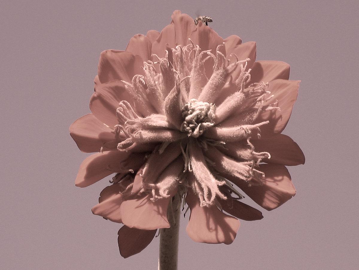 Erythrina latissima 11