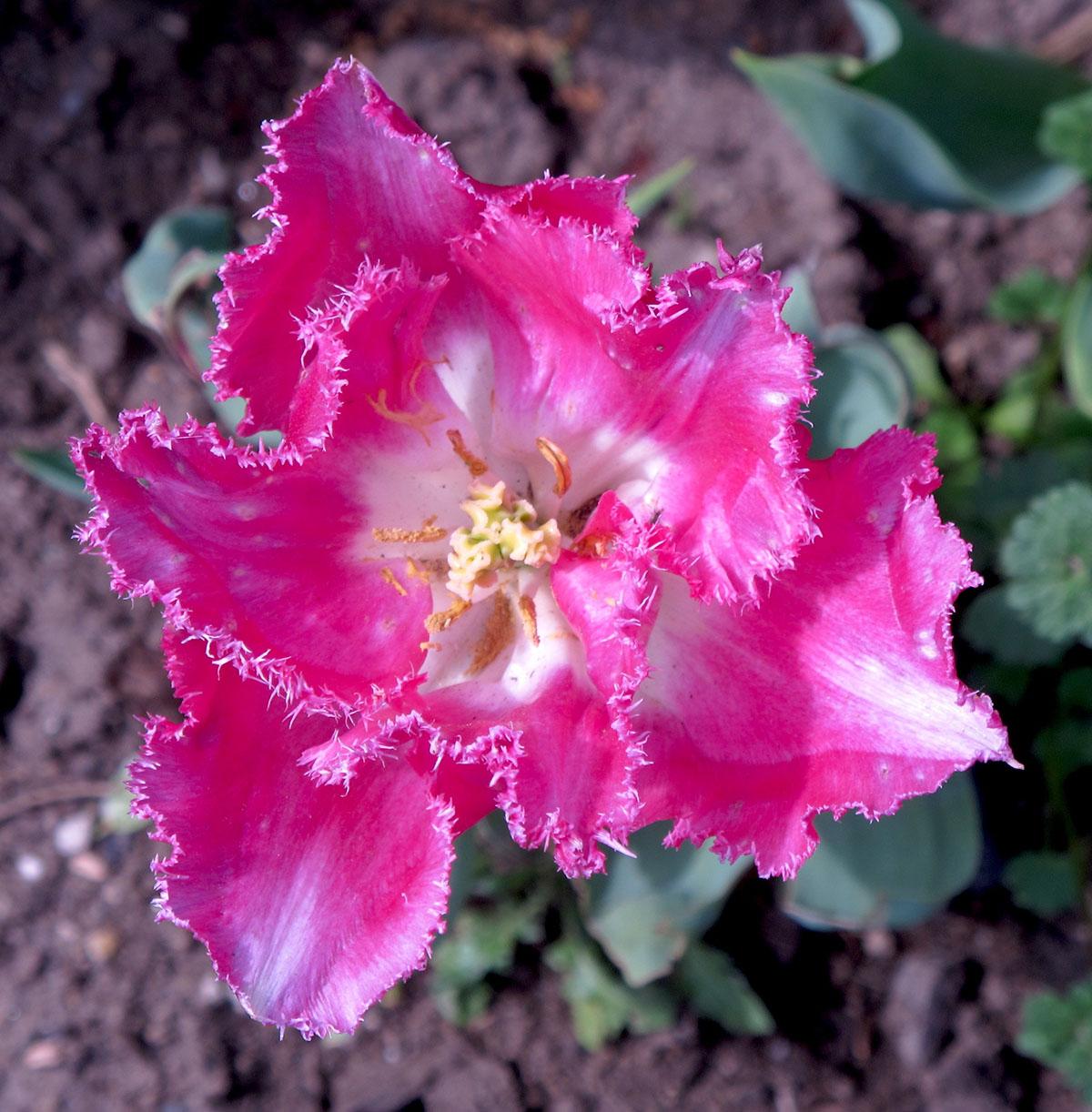 Tulipa X sp 62 8