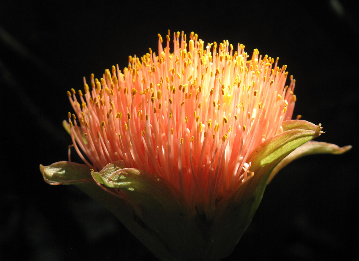 Scadoxus puniceus 12