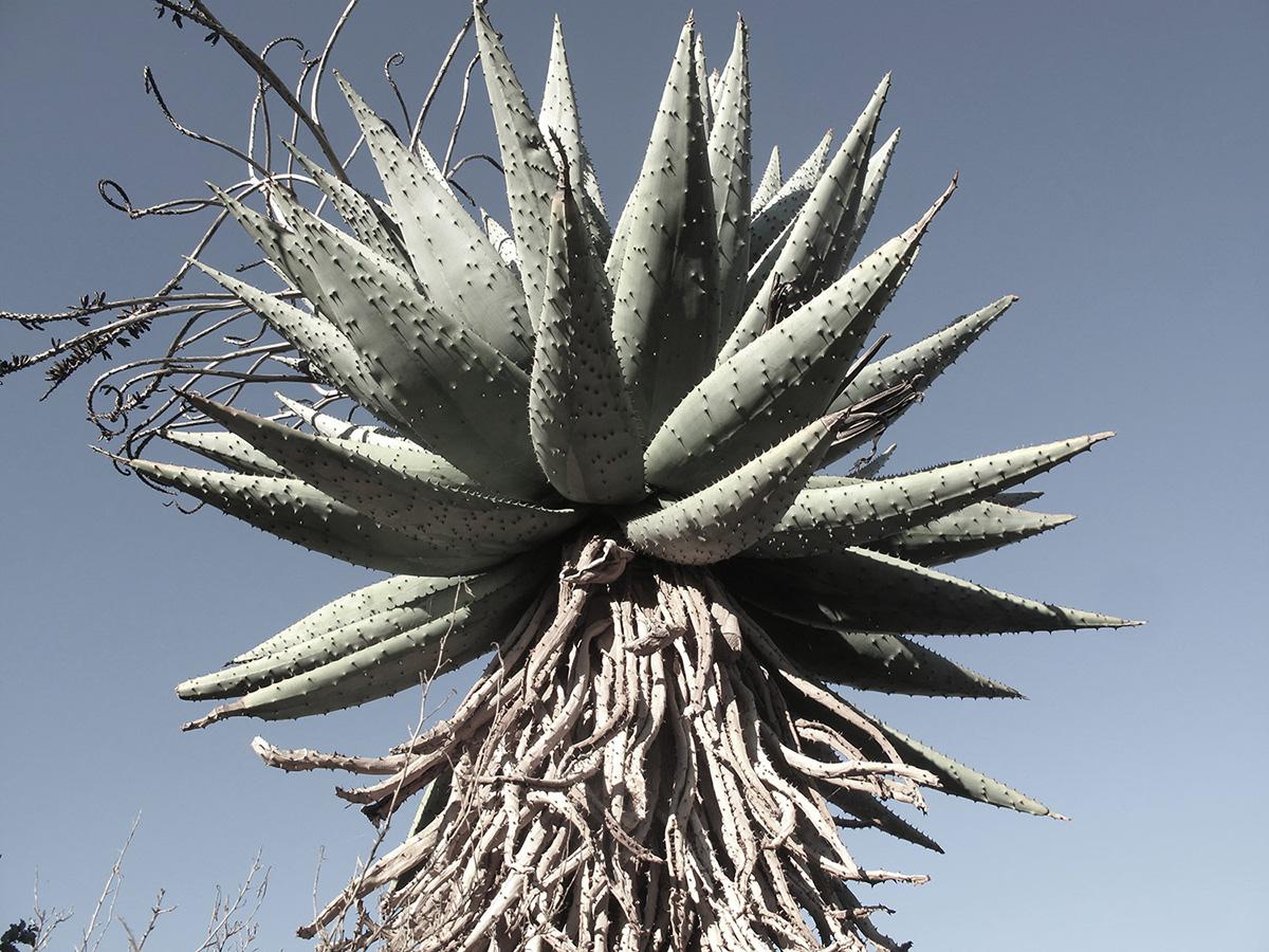 Aloe-marlothii-25-