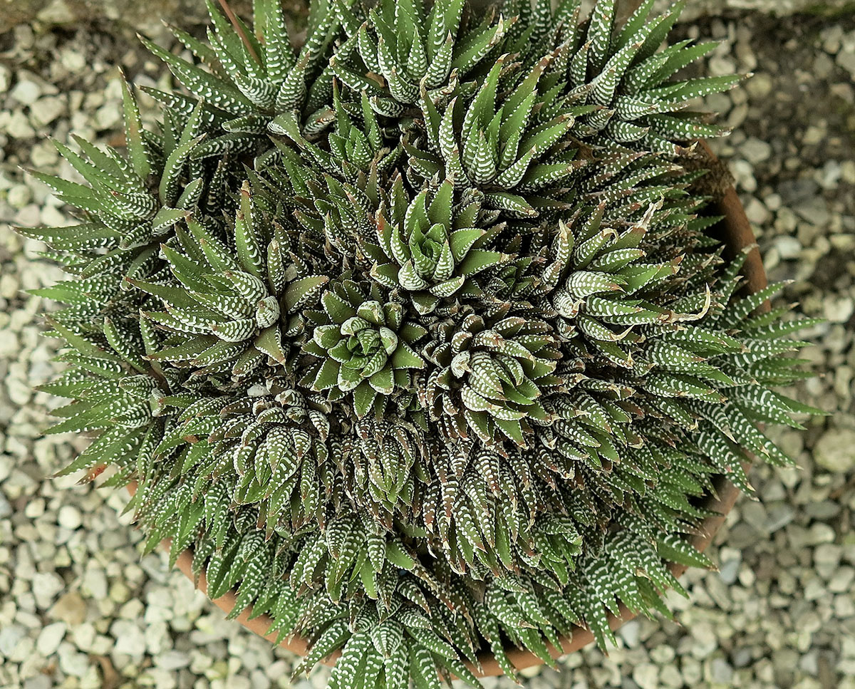 Haworthia hybrida 2