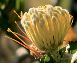Leucospermum erubescens 74