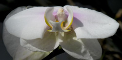 Phalaenopsis Maki Watanabe Carmela 6
