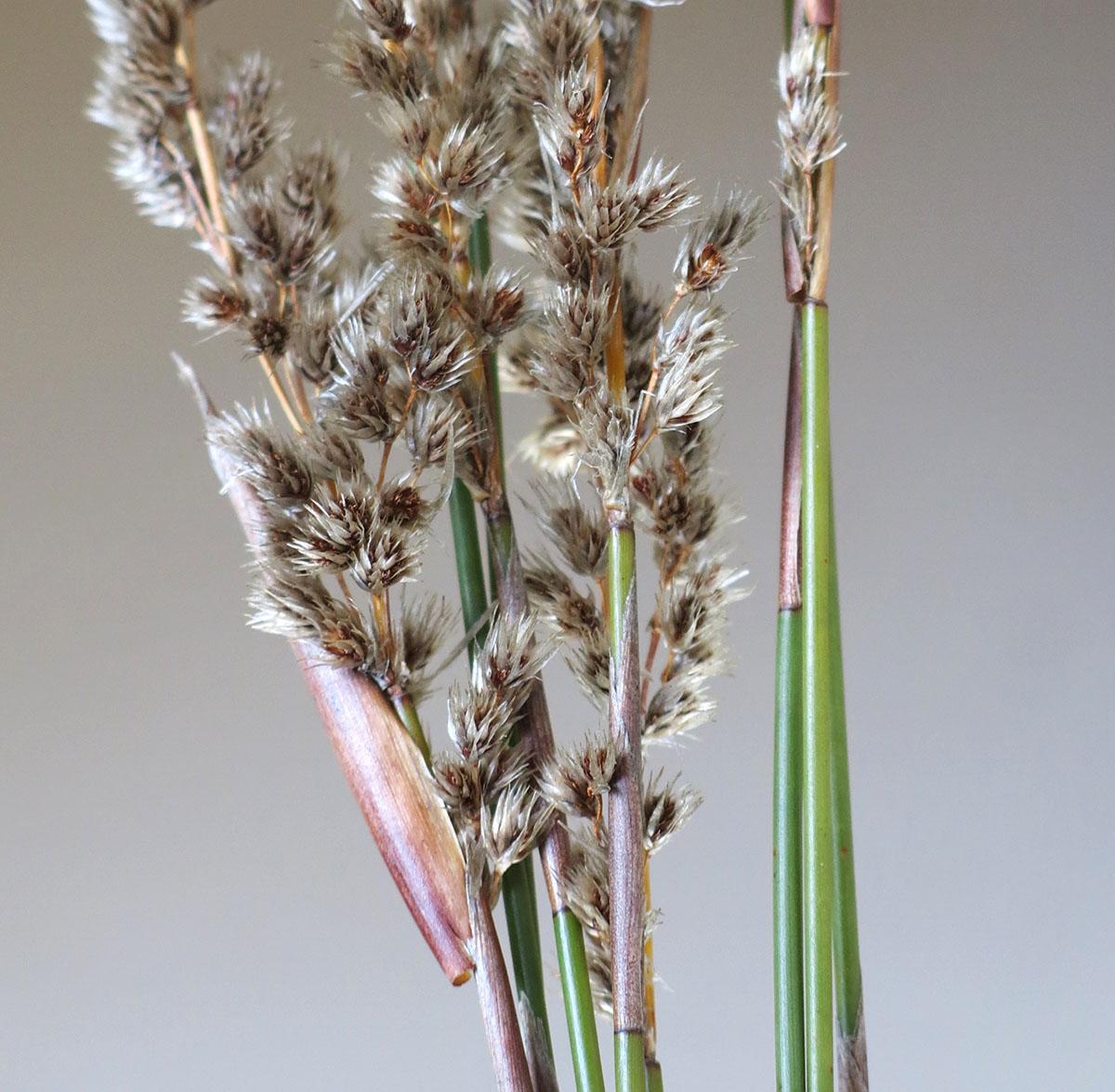 Hypodiscus argenteus 7 (male)