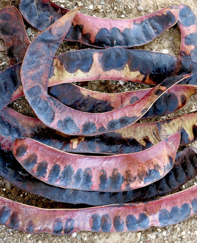 Gleditschia triacanthos 88