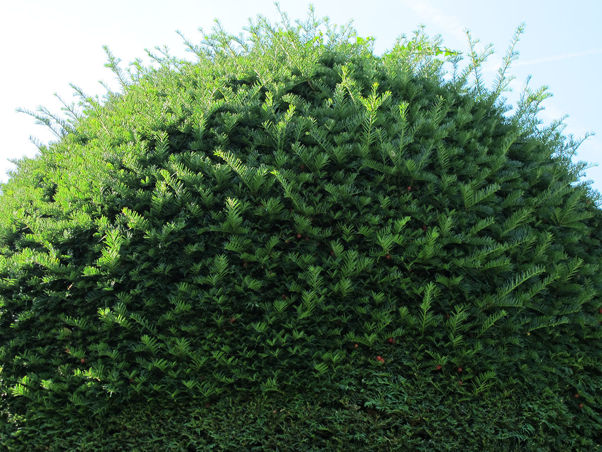 Taxus baccata 45