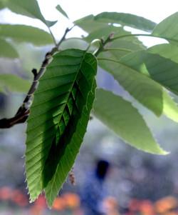 Quercus variabilis 15