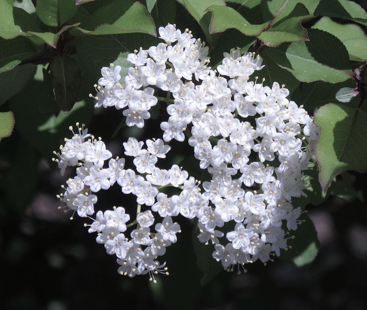 Viburnum prunifolium 8