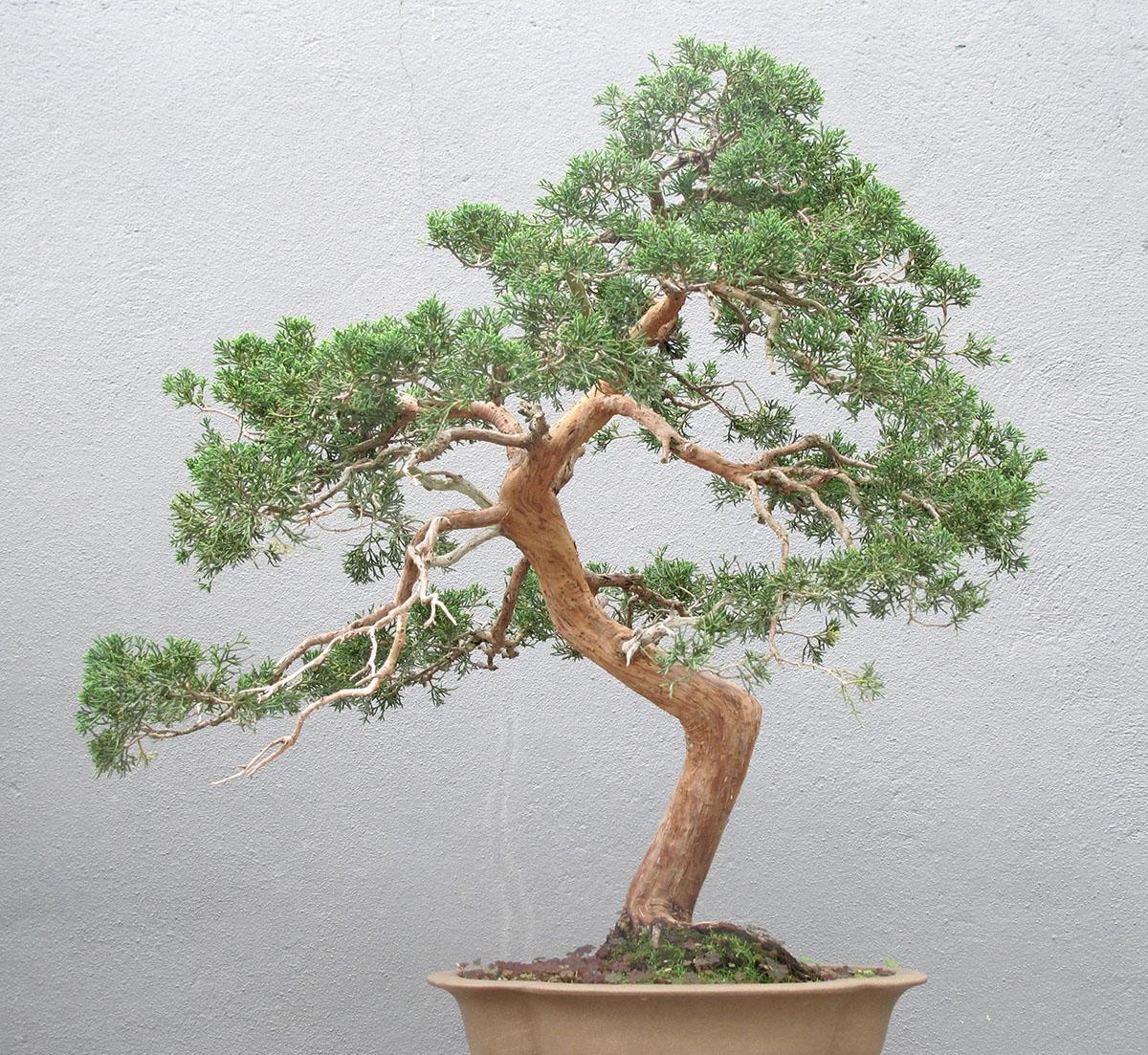 Juniperus chinensis sargentii 12