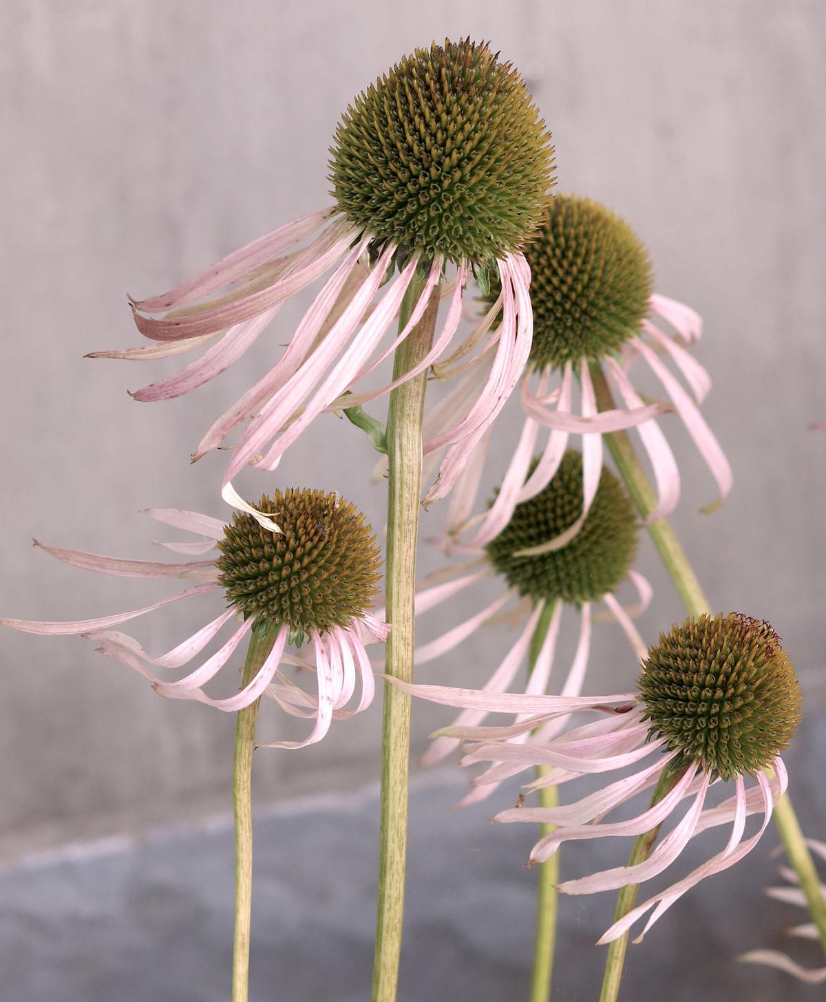 Echinacea laevigata 10