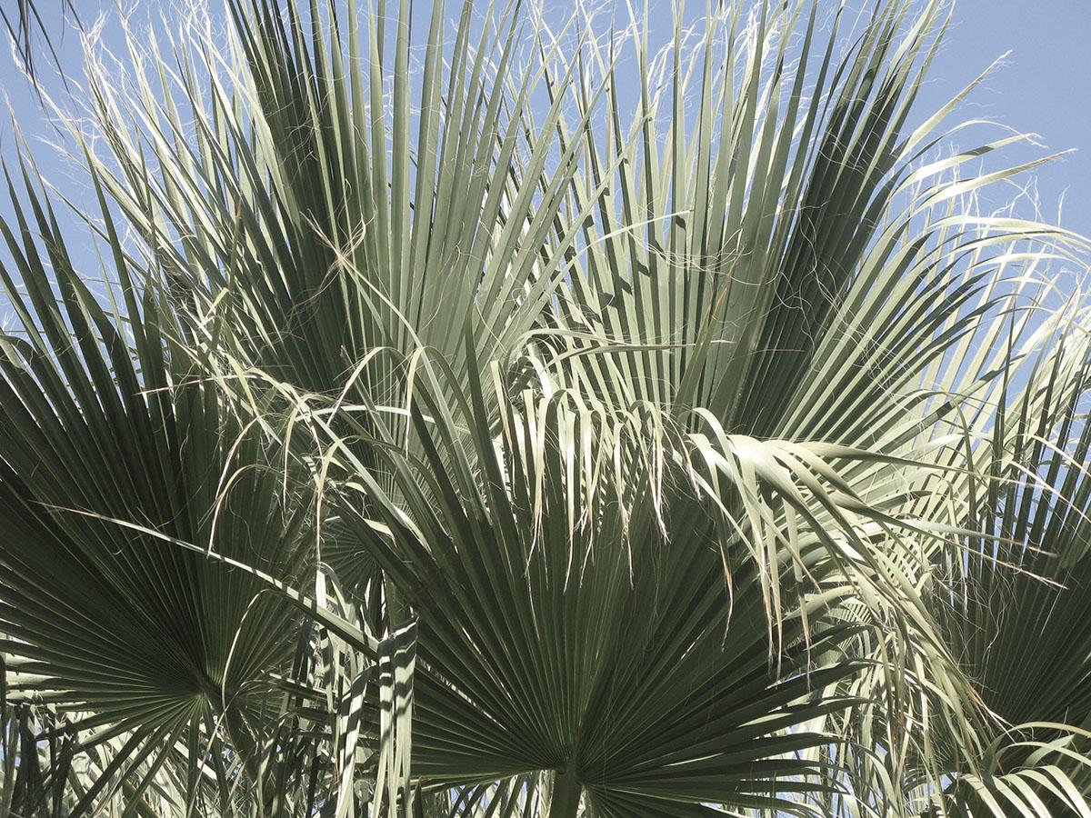 Washingtonia filifera 25