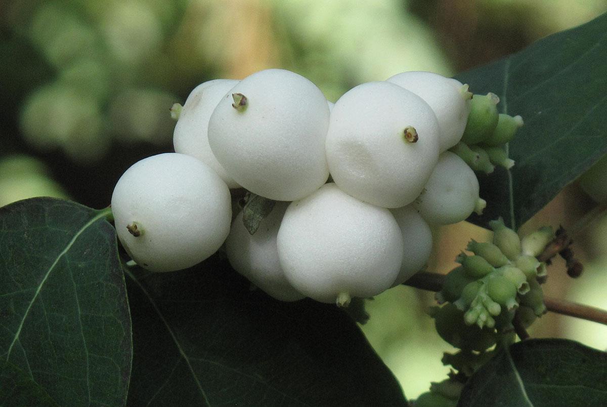 Symphoricarpos albus 18