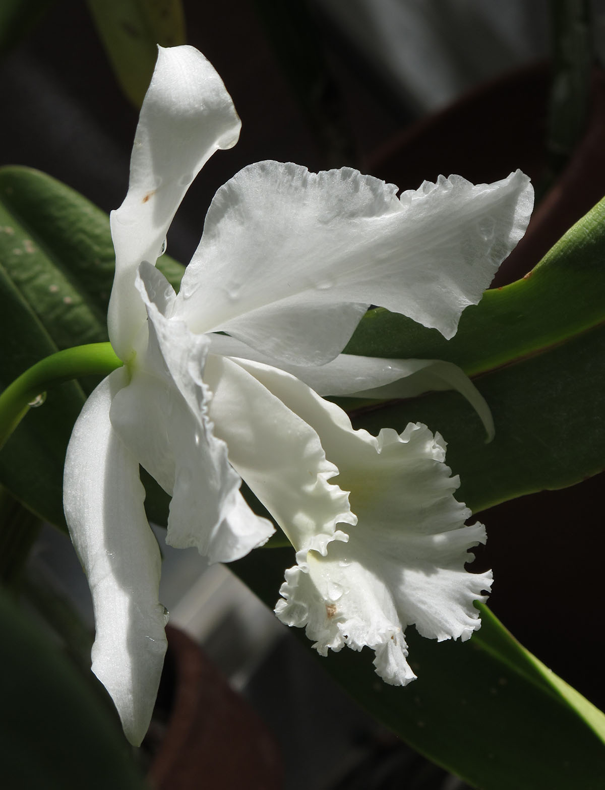 Rhyncholaeliocattleya_Lawless_Walküre_2_
