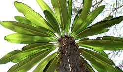 Pachypodium lamerii 42