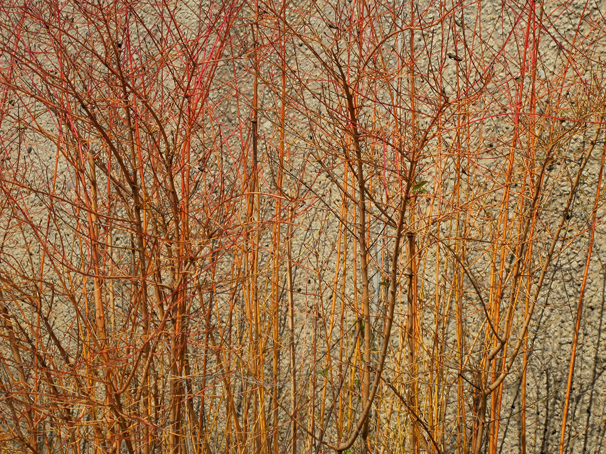 Cornus sericea sanguinea 3