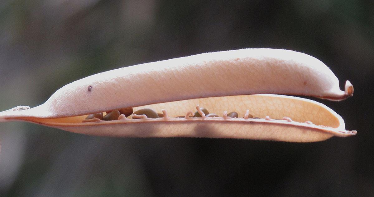 Crotalaria capensis 14
