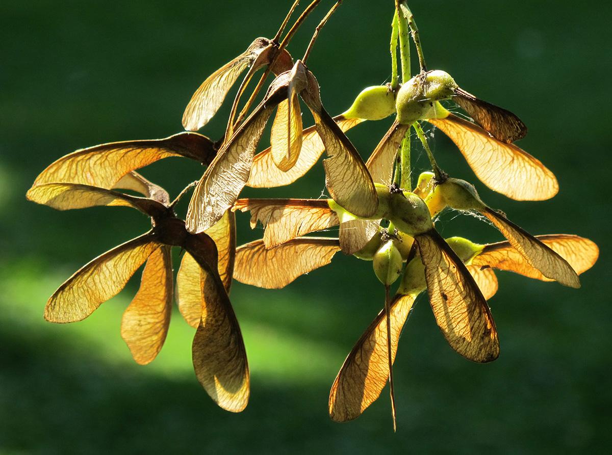 Acer-pseudoplatanus-20-