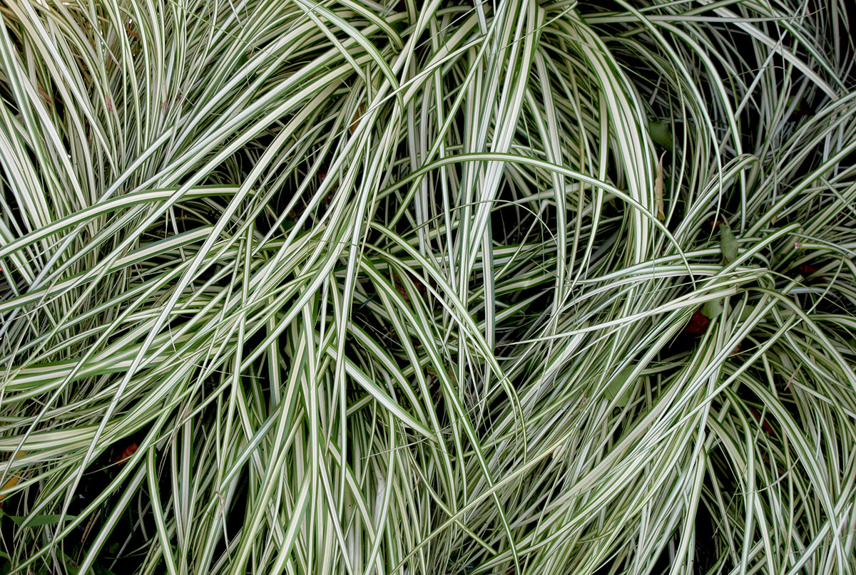 Carex oshimensis Evergold 7