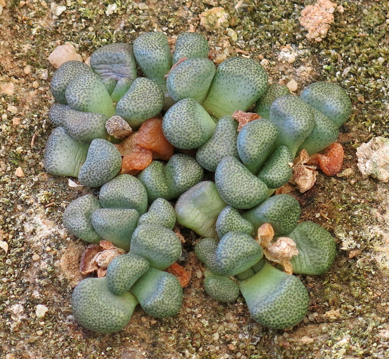 Aloinopsis-schooneesii-schooneesii-2-