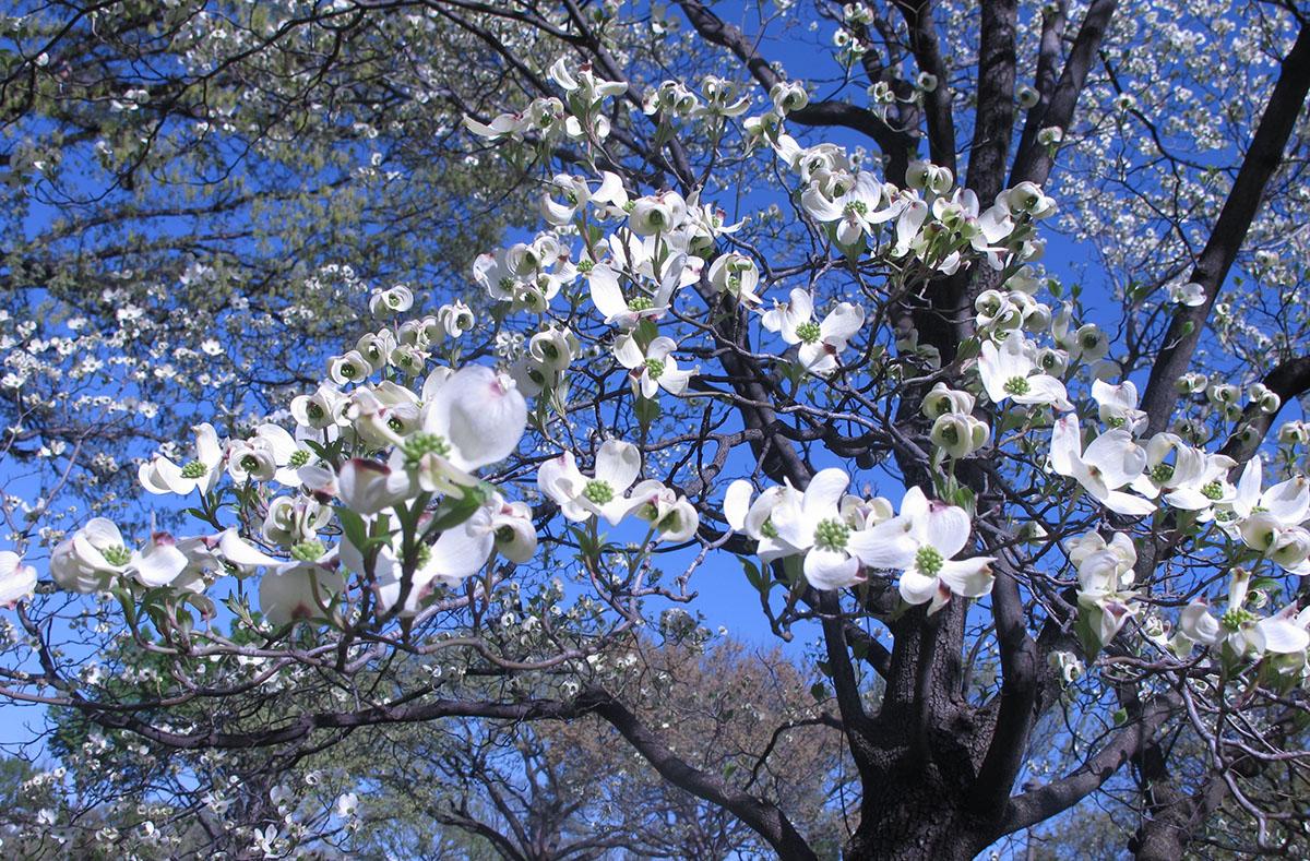 Cornus florida 14