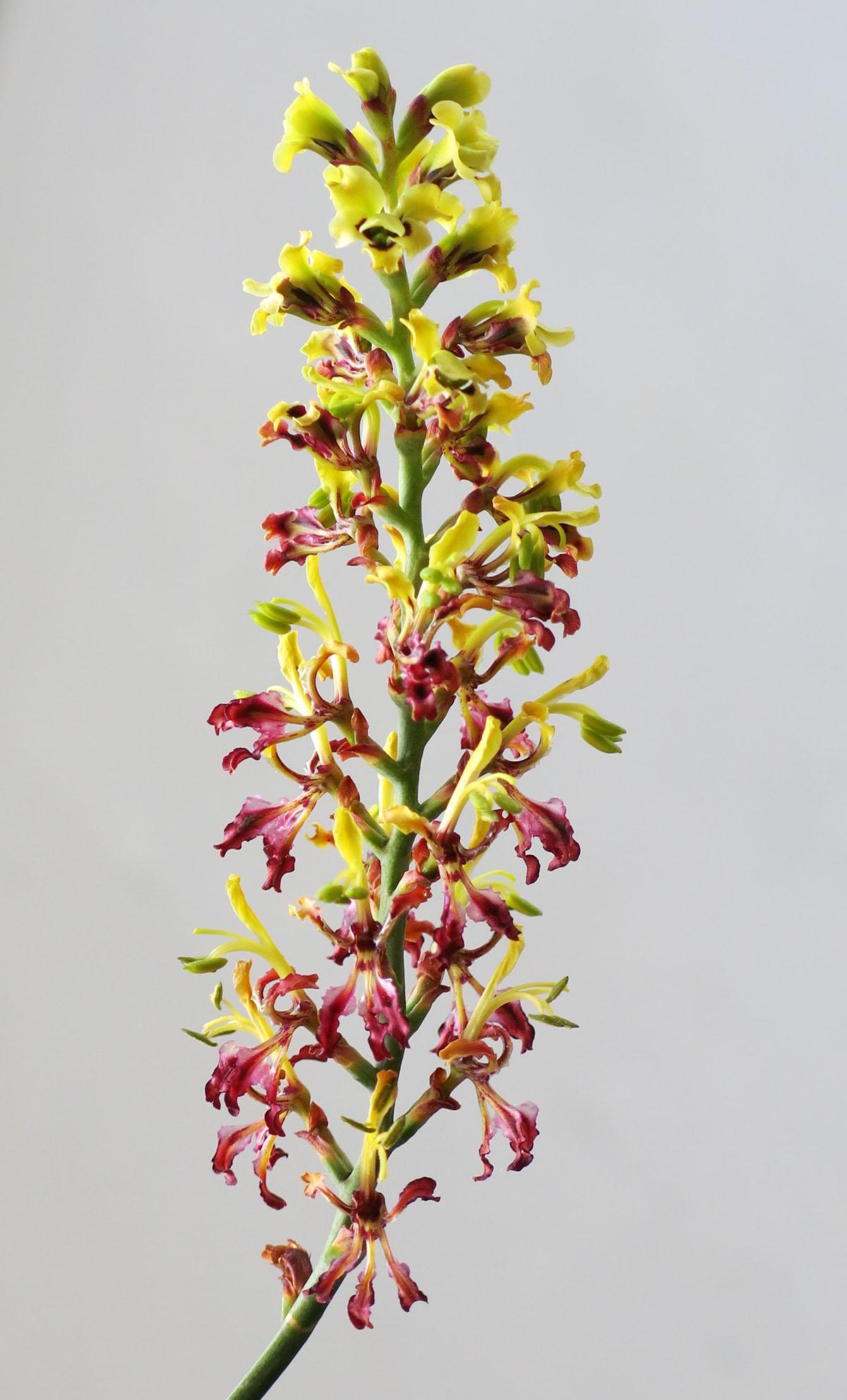 Tritoniopsis parviflora 6
