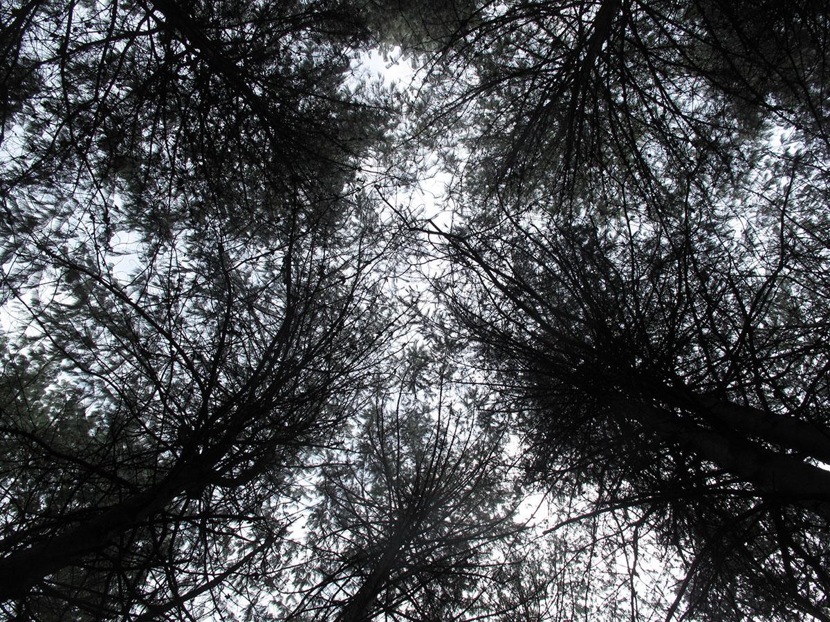 Pinus patula 1