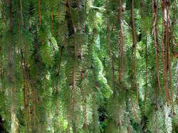 Picea abies viminalis 9