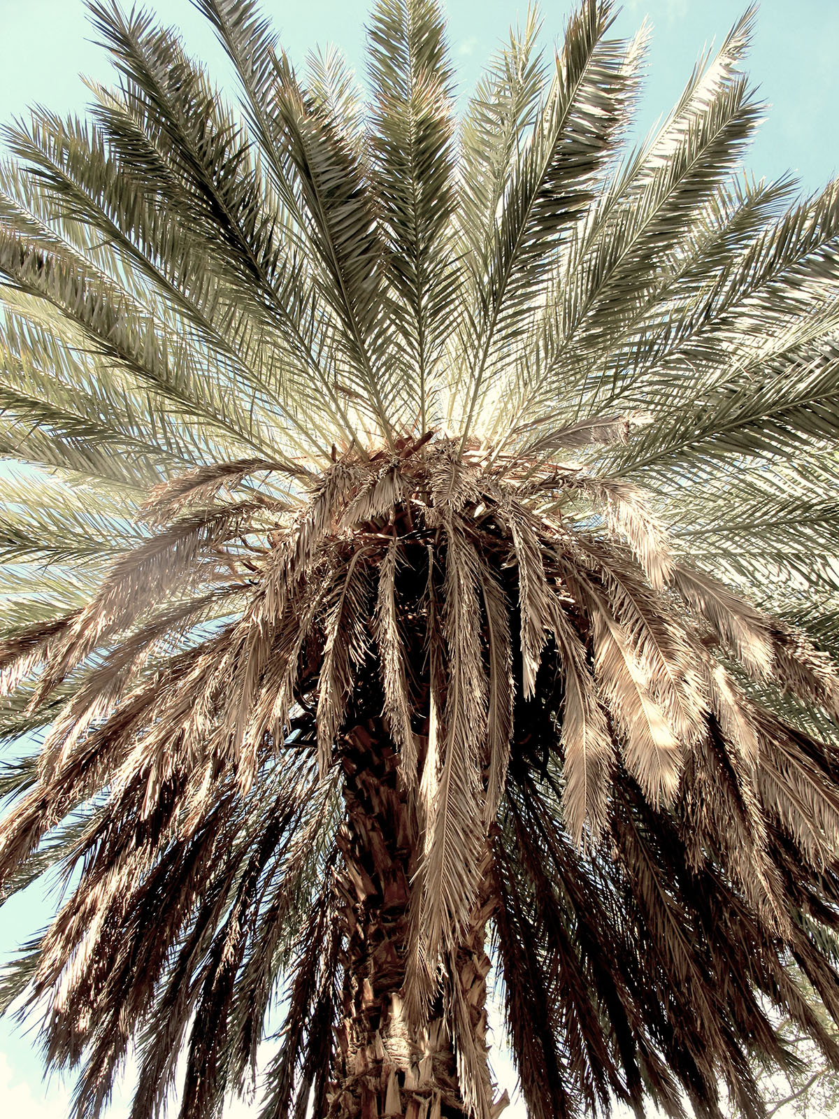 Phoenix dactylifera 42