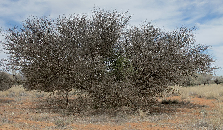 Acacia-mellifera-35-