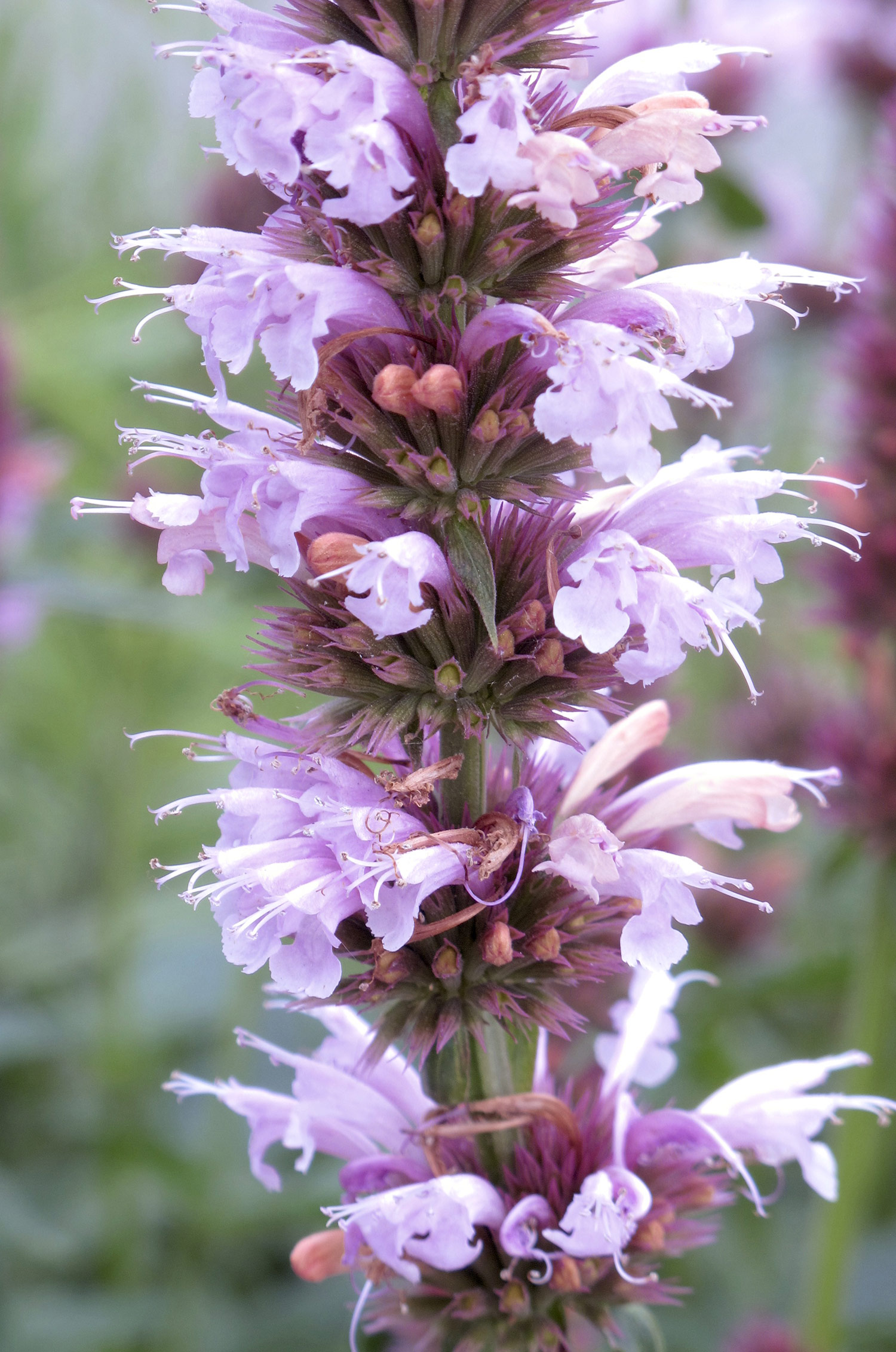 Agastache-Cotton-Candy-5-