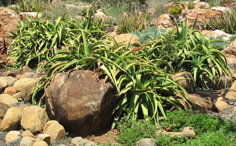 Aloe-vanbalenii-19-