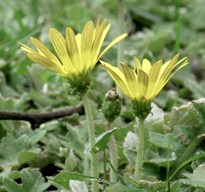 Arctotis-arctotoides-56-