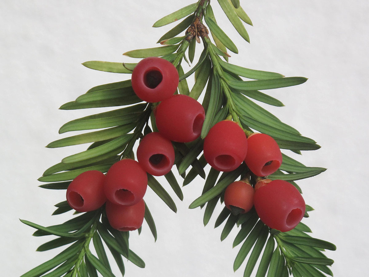 Taxus baccata 15