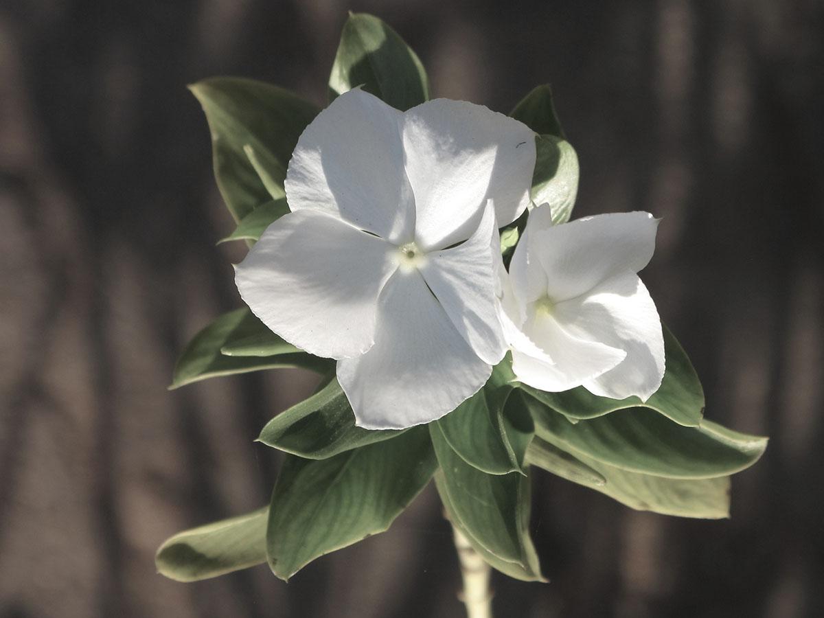 Cataranthus roseus 25