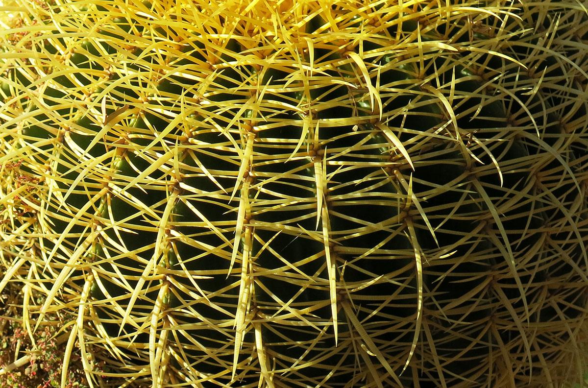 Echinocactus grusonii 59
