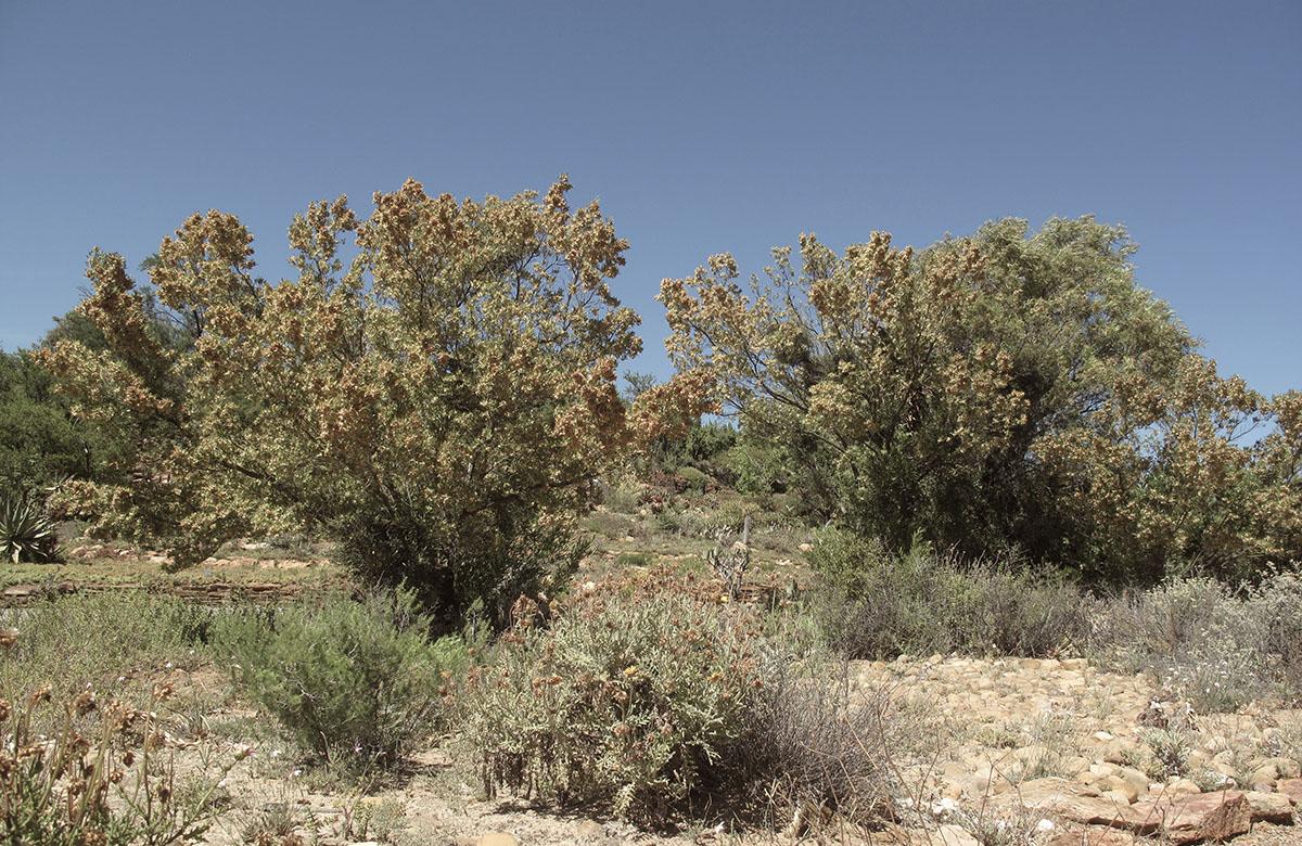 Dodonea viscosa 28
